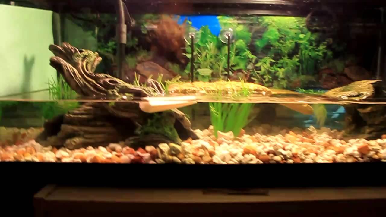 Turtle tank yellow water yellow belly slider turtle tank for Fish tank turtles