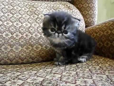 Beautiful Brown classic Tabby Persian kitten