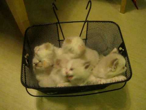 44 Days Old - Kittens in a Basket