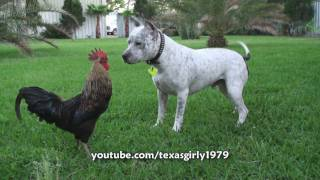 Pit Bull Sharky The Bodyguard Dog VS Mr. Rooster ATTACKS
