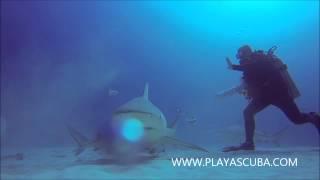 Bull Shark27