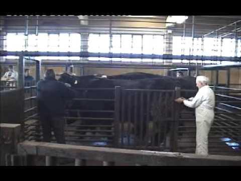 CAVIAR DE BUEY - Nuestros bueyes Bos Taurus Ibericus entrando en el matadero
