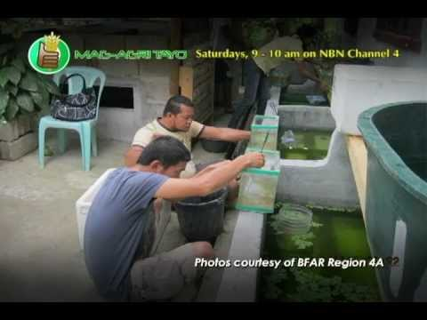 Ornamental FIsh Culture (Breeding & Grow-out)/Palamuting Isda Part 1