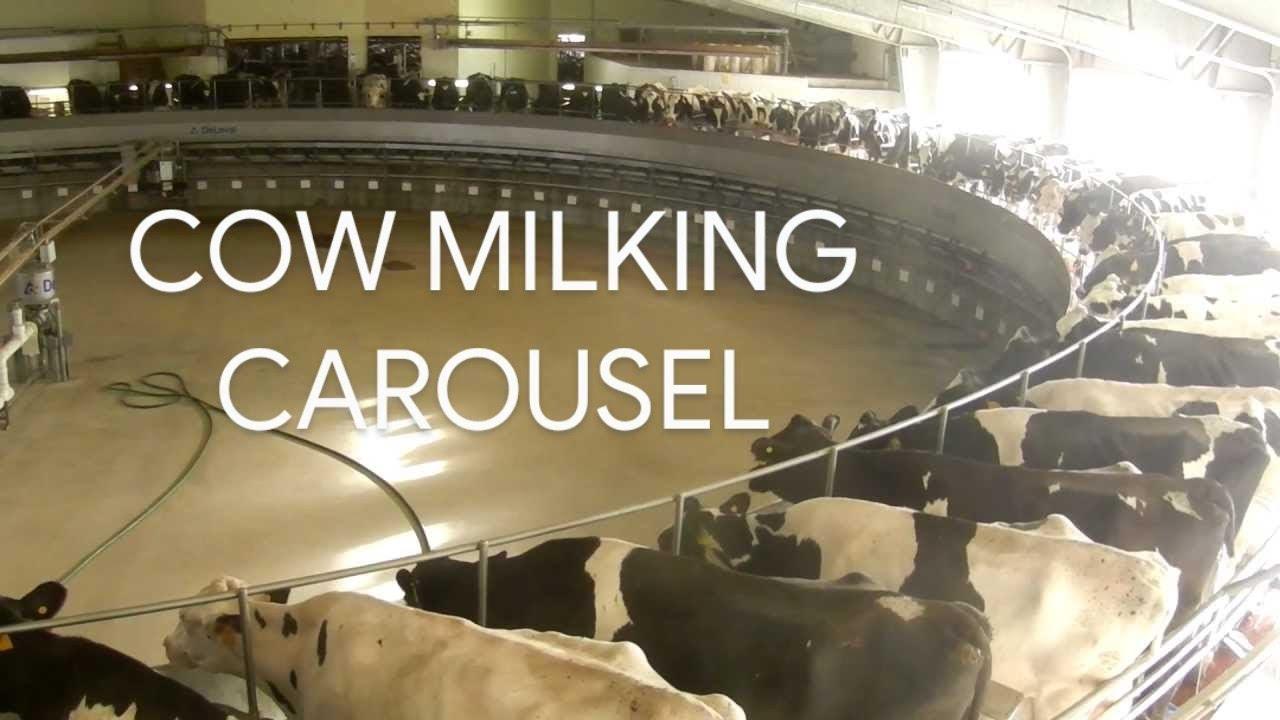 Modern Dairy Farm High Tech Milking Cows On Circular