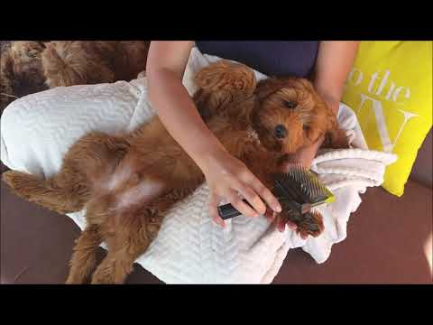 Australian labradoodle puppys: chilling and grooming