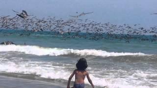 Pelicanos Pescadores em 50 cm de água