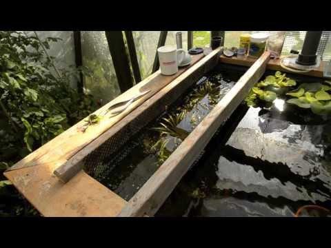 Wild Guppy Fry Net In Greenhouse Pond Part ll