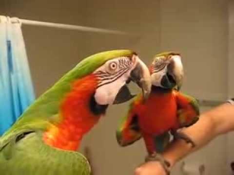 Video Lucu Banget Burung Beo Bicara di Depan Kaca