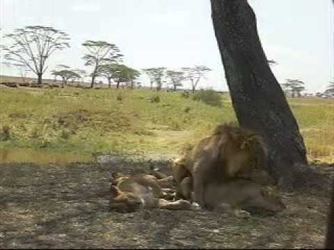 lion mating period in Serengeti national park.wmv
