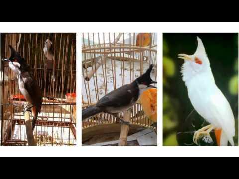 Chim Chào Mào Hot Hay 2014: Tuyển Tập