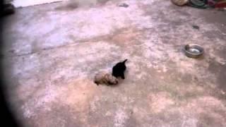 Pelea Entre Un León Y Una Pantera