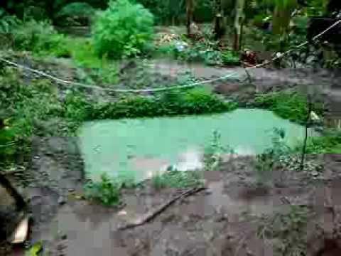 Backyard tilapia raising with azolla and malunggay youtube for Garden pool tilapia