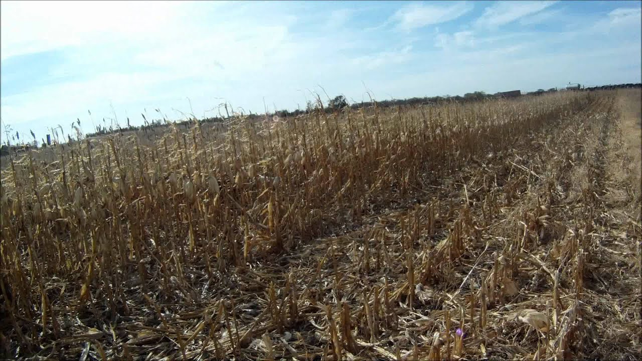 South dakota pheasant hunting 2011 12 kills gopro hd for South dakota out of state fishing license