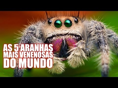 As 5 aranhas mais venenosas do mundo - Diário do Curioso