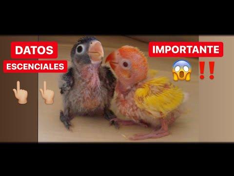 cuidados del agapornis papillero!! ( consejos)