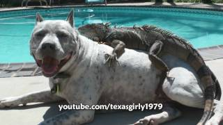 Hilarious! Iguana LOVES Dog Pit Bull Sharky. Happy MOTHER