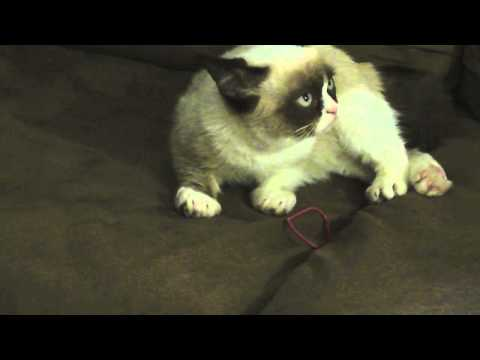 Another Grumpy Cat Video, Here is Grumpy Cat lounging around and a small Pokey cameo. Visit: www.grumpycats.com