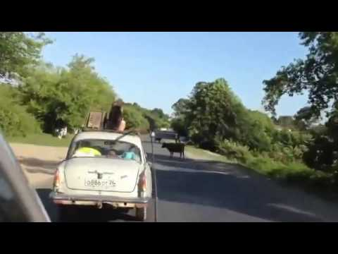 Daily Wins Crazy Dog Surfing on Car's Roof