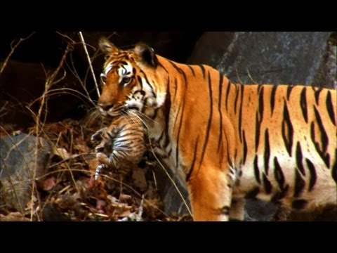 Cute newborn Tiger cubs Amazing video of Siberian tigers ... Cute Siberian Tiger Cubs