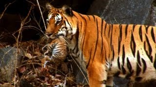 Wild tiger cub - for the first time on film..