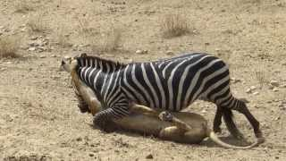 Amazing: Lion vs Zebra | Lion kills zebra almost | Serengeti lion hunting zebra | Lion battle zebra