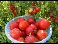 Pruning Tomato Plants Not Necessary