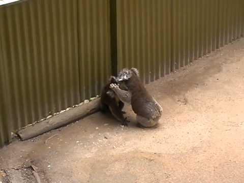 Koalas wrestling on the ground - YouTube Koala Wrestling