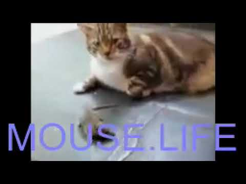 MOUSE LIFE - Cat and Mouse Funny Fighting Video   Must Watch
