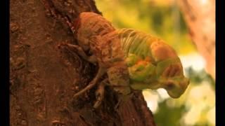 Ağustos Böceği kabuk değiştirme
