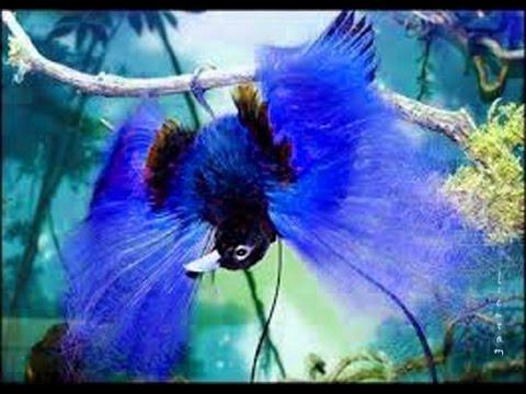 Vẻ đẹp tuyệt mĩ của 39 loài chim thiên đường (Bird-of-paradise)