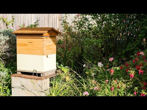 Father and Son beginner beekeeping team keep Flow Hive in suburban backyard (video)