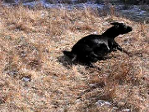 Fainting Goat Giving Birth - YouTube