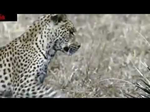 PORCUPINE  & LEOPARD AMAZING VIDEO