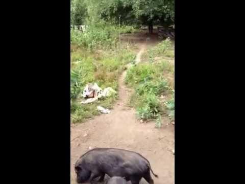 Piglets july 2013