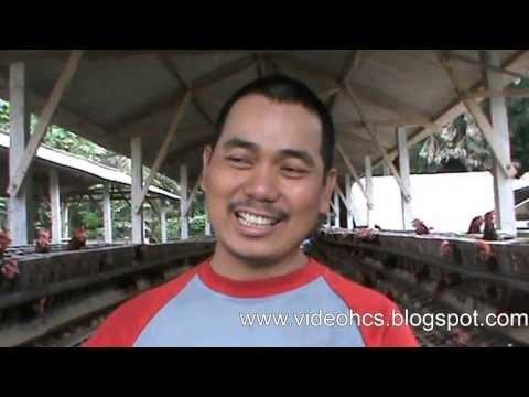 Cara beternak Ayam Petelor ala P Bambang