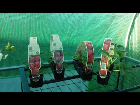 How to grow Strawberries in pots.
