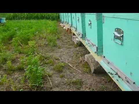 Stupina din Berindei 2014 verificarea matcilor de schimbare linistita si marcarea lor