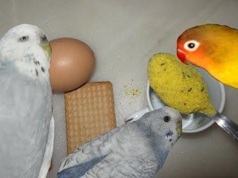 Pasta para la época de cria de los loros / Alimentación casera para loros / Todo Sobre Loros