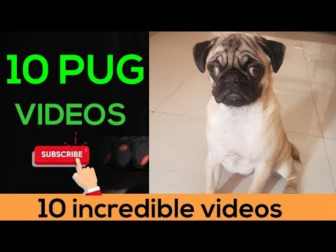 Pug 10 incredible funny videos | must see | very funny | dogs lover