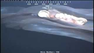 Monster in the deep sea caught by ROV