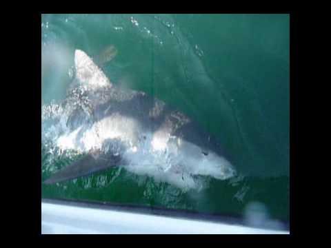 Tiger shark outcast fishing charters hilton head for Hilton head surf fishing