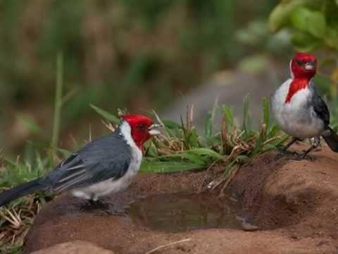 Aves do Brasil - Ouça o maravilhoso canto do Cardeal!