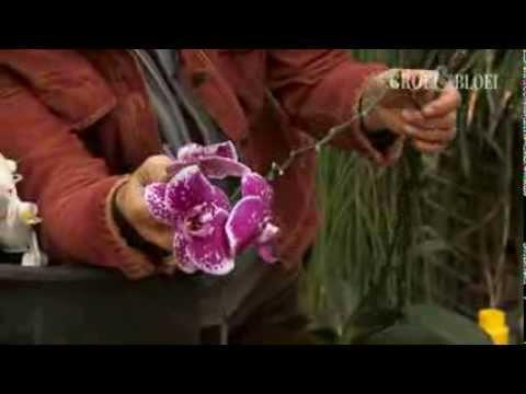 Orchidee wortels knippen