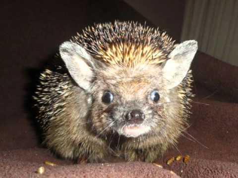 Hedgehog Order