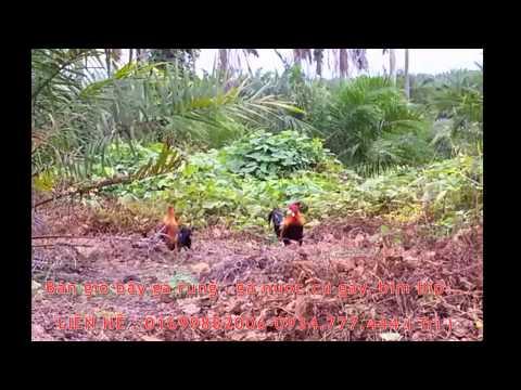Bẫy gà rừng bằng Dò bẩy