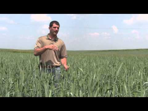 Triticale Nurse Crop from Millborn Seeds