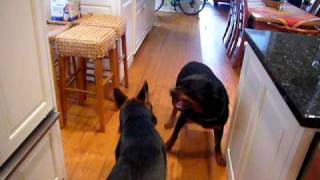 Rottweiler Vs German Shepherd