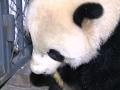 Raw: US-Born Panda Bao Bao Arrives in China