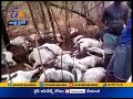 50 goats died due to thunderbolt at Chittor District