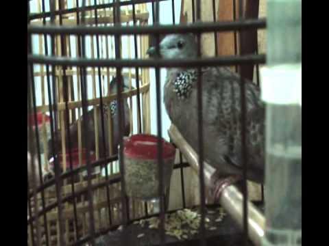 Mô hình nuôi chim Cu Gáy đẻ thành công tại TP Việt Trì, tỉnh Phú Thọ